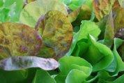 SaladScape of 'Santoro' and 'Mervielles de quatre Saison' (a.k.a., 'Continuity') Lettuce, Closeup 1