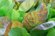 SaladScape of 'Santoro' and 'Mervielles de quatre Saison' (a.k.a., 'Continuity') Lettuce, Closeup 3