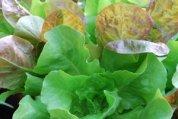 SaladScape of 'Santoro' and 'Mervielles de quatre Saison' (a.k.a., 'Continuity') Lettuce, Closeup 4