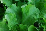 'Santoro' Lettuce Growing in a SaladScape 3