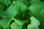 'Santoro' Lettuce Growing in a SaladScape 4