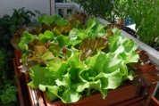 Growing Lettuce—SaladScape of Skyphos and Santoro Lettuce