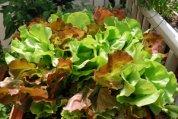 'Skyphos' and 'Santoro' Lettuce Growing in a SaladScape, Closeup 1