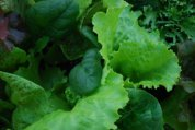 Window Box Salads Closeup 3