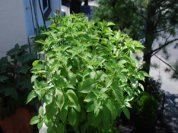 Growing Basil—'Mrs. Burns' Lemon'