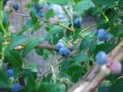 Highbush Blueberry 'Berkeley' 1