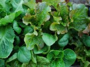 Growing Mixed Salad Greens in a Window Box 1