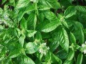 Basil Varieties—'Mexican Cinnamon