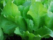 Growing Lettuce—'Santoro' Butterhead