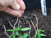 Inoculating Tomato Seedlings with Mycorrhizae 3