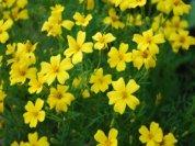 'Lemon Gem' Marigolds, Closeup