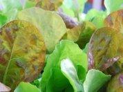 SaladScape of 'Santoro' and 'Mervielles de quatre Saison' (a.k.a., 'Continuity') Lettuce, Closeup 2