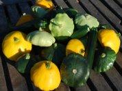 Summer Squash Harvest