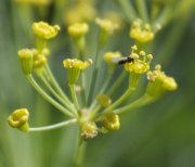 Aphid Wasp on Dill Flowers