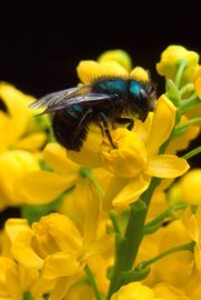 Orchard Mason Bee on Barberry