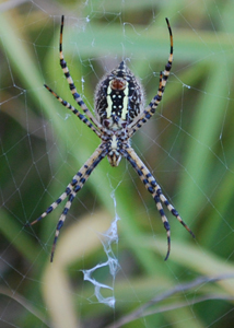 Garden Spider Waits for Hapless Pests
