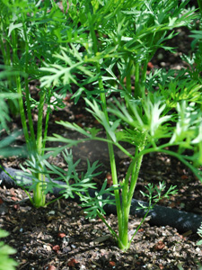 Growing Carrots—'Yaya'
