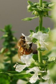 Honeybee Imbibing from a Basil Flower