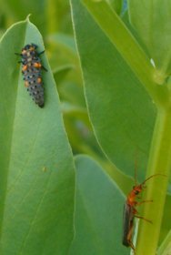 Aphid's Worst Nightmare:  Ladybug Larva and Soldier Beetle