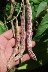 'Dragon Tongue' Bush Bean