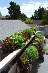 Lettuces and Lemon Gem Marigolds in a Window Box