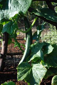 Cucumber Varieties—'Chelsea Prize'