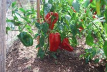 'Ace' Red Bell Pepper