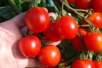 Salad Tomato Varieties—'Stupice' produces loaded trusses of small, red salad tomatoes