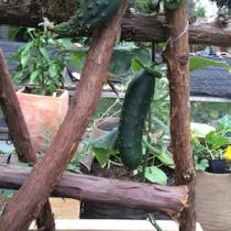 'Marketmore 76' Slicing Cucumber