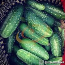 'National Pickling' Cucumber.