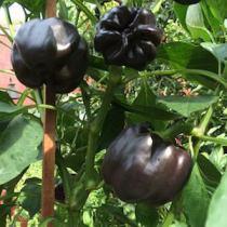 Pepper Varieties-'Chocolate Bell'