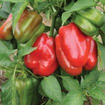 'Staddon's Select' Red Bell Peppers are early and prolific even in cool-summer gardens.