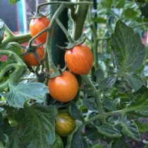 Tomato Varieties—'Sunrise Bumble Bee' on the Vine