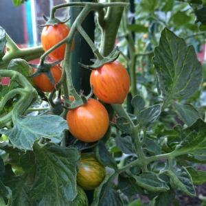 Tomato Varieties—'Sunrise Bumble Bee' on the Vine