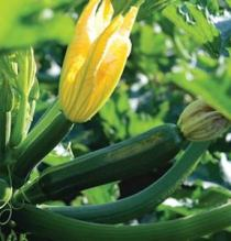 'Dunja' is a deep green, glossy zucchini that grows on compact, bushy plants.