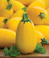 'Golden Egg Hybrid' Summer Squash