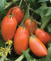 Paste (Sauce) Tomato Varieties—'San Marzano'
