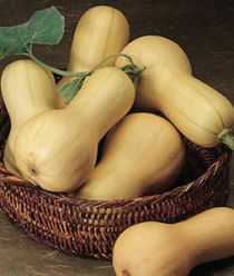 'Burpee Butterbush' winter squash produce early and grow on compact vines suitable for small gardens and containers.