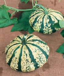 'Verte Et Blanc' French Heirloom winter squash are beautiful, cup-shaped winter squash with creme-colored flesh streaked with dark green.