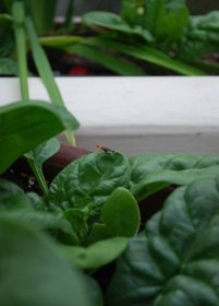 Soldier Beetle on Container Spinach