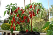'Early Jalapeno' Growing in a 7-gallon Smart Pot with Organic Soil Amendments 7a