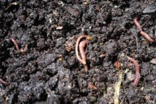 Compost Worms in Fresh Worm Castings