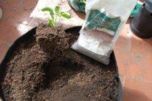 Inoculate the Jalapeno Plant with Endomycorrhizae