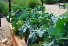 Italian Leaf Broccoli—Spigariello Liscia 1