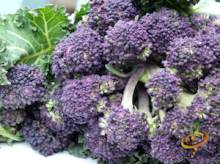 Broccoli Varieties—'Early Purple Sprouting'