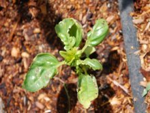 A Basil Seedling Struggles With Cold Weather