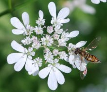 Syrphid Fly on Flowering Cilantro (Coriander)