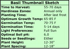 Basil Thumbnail Sketch