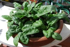 Spinach in a Terra-Cotta Pot, 3 Weeks Later