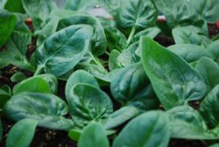 Growing Spinach—'Catalina'